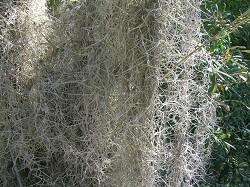 Spanish Moss 50 lb