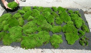 """""""Just Picked"""" Mood Moss"""