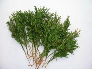 Princess Pine 1,250 plants