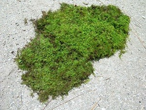 Just Picked Sheet Moss